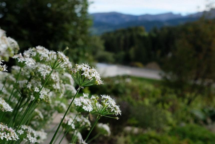 Blühender Dill im Hotelgarten, gleich daneben das »Naschbeet für Menschen« mit saisonalen Früchten an Hecken, Sträuchern und Bäumen