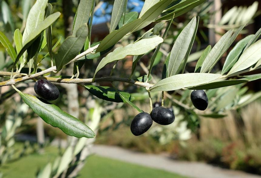 Im Garten der VillaVerde gibt es nicht nur einen Bereich für Küchenkräuter und viele Sitzgelegenheiten, um die Seele baumeln zu lassen, sondern dort wachsen auch Oliven und zarte Blumen und Gräser in schön angelegten Beeten