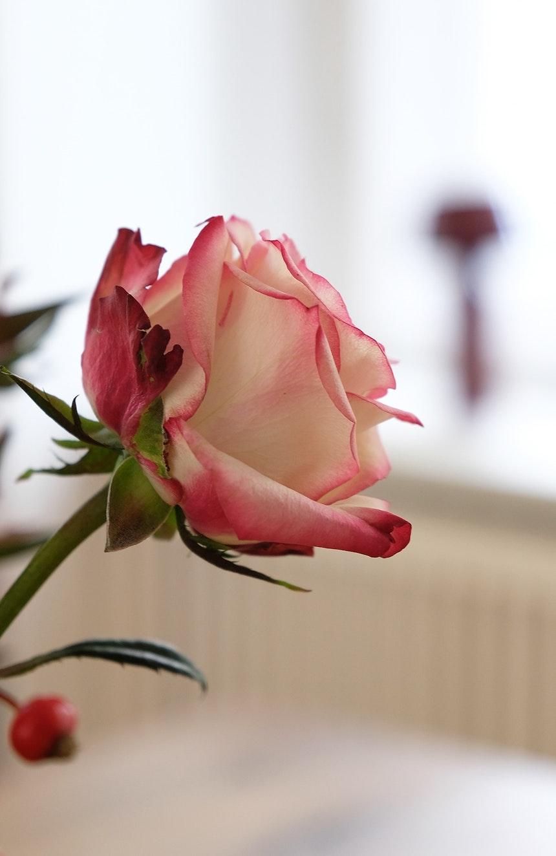 Rose & Fading Bicoca