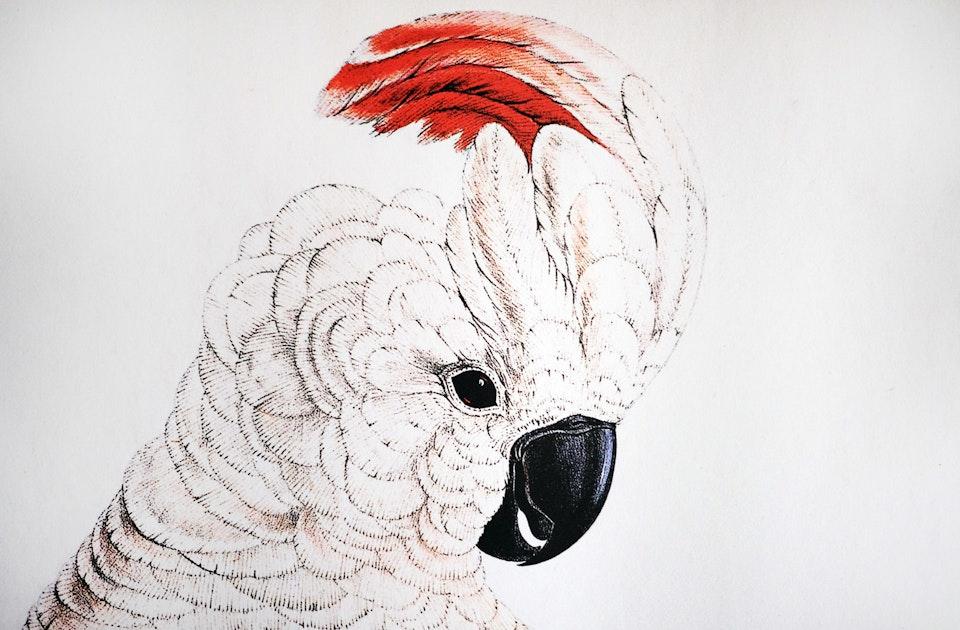 Erstwhile Cockatoo  Kakadu 3