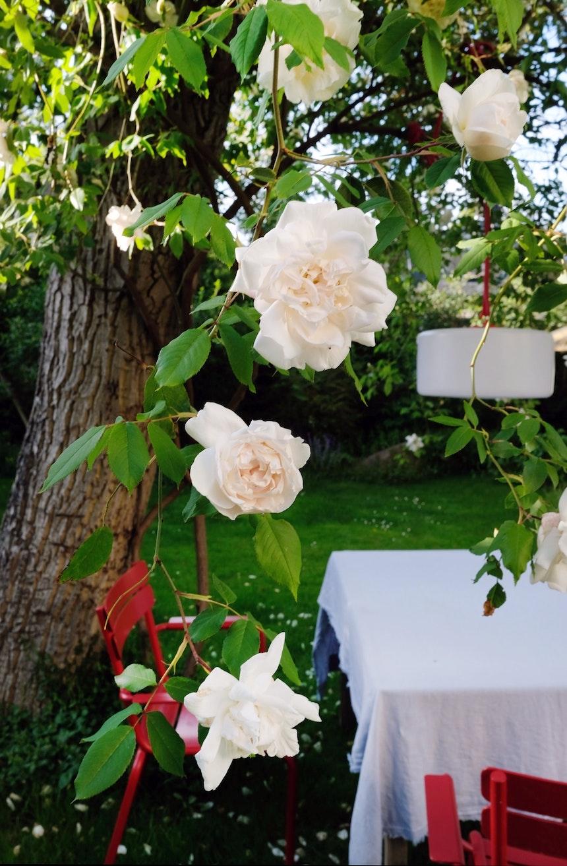 Zartrosa, anspruchslos, robust und immer wieder bis zum Frost blühend – die Ramblerrose Madame Alfred Carrière