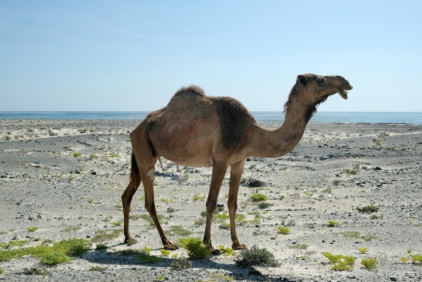 Beim Spazieren am Strand verändert sich immer wieder die Landschaft und man trifft auf weidende Kamele