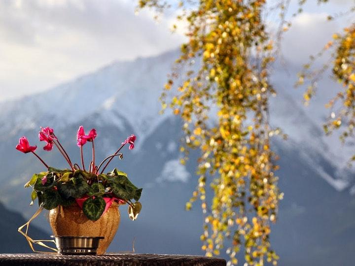Alpen-Veilchen!