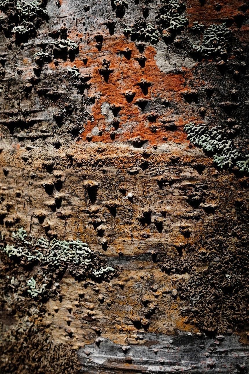 Rinde eines Kauris, der größten (und geschützten) neuseeländischen Baumart