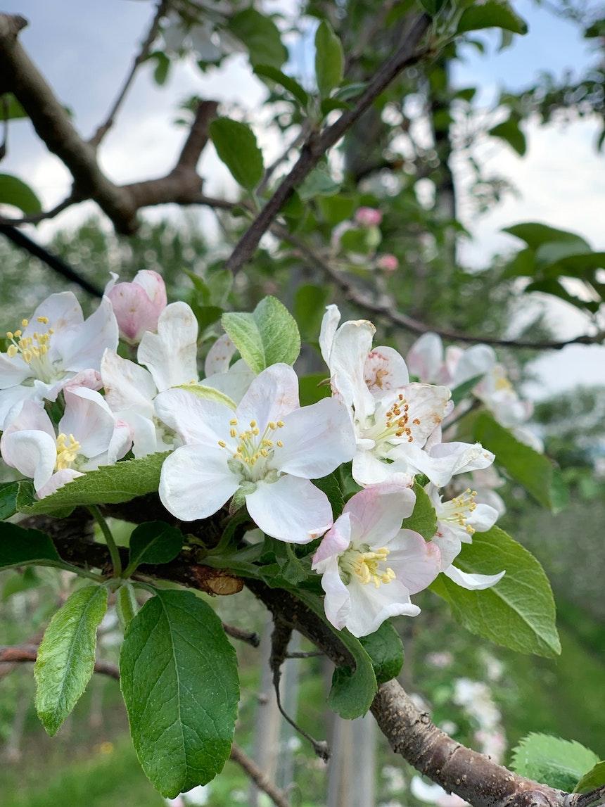 Apfelblüte im Hotelgarten