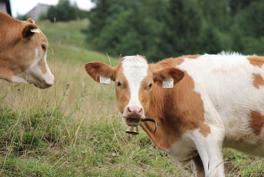 Auf der Alm da gibt's koa Sünd... aber viele Kühe