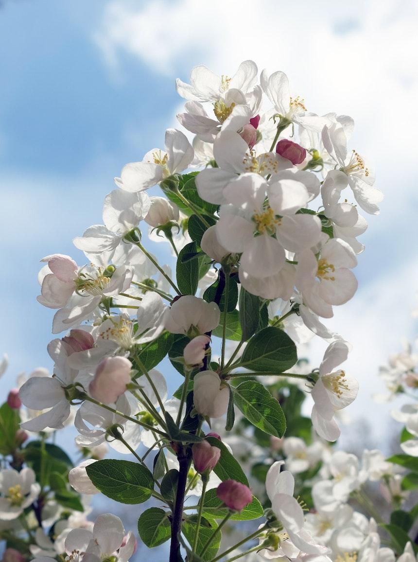 Rosa Knospen, weiße bis zartrosa Blüten