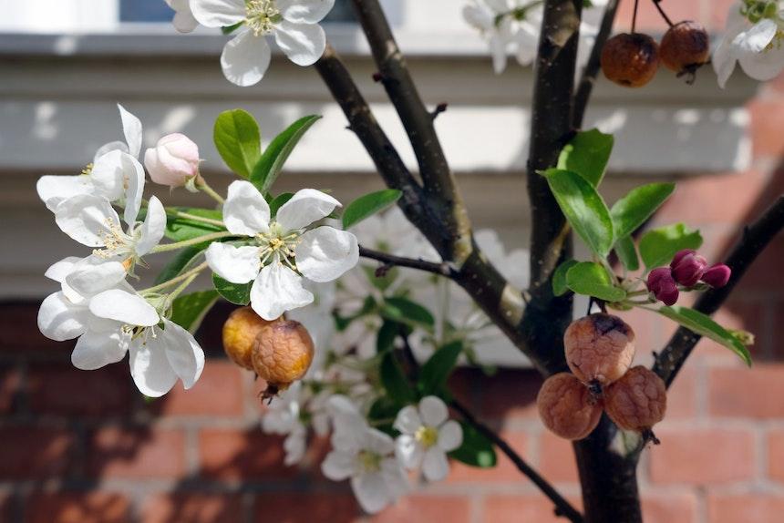Dekorativ zu jeder Jahreszeit – Zierapfelbaum »Golden Hornet«