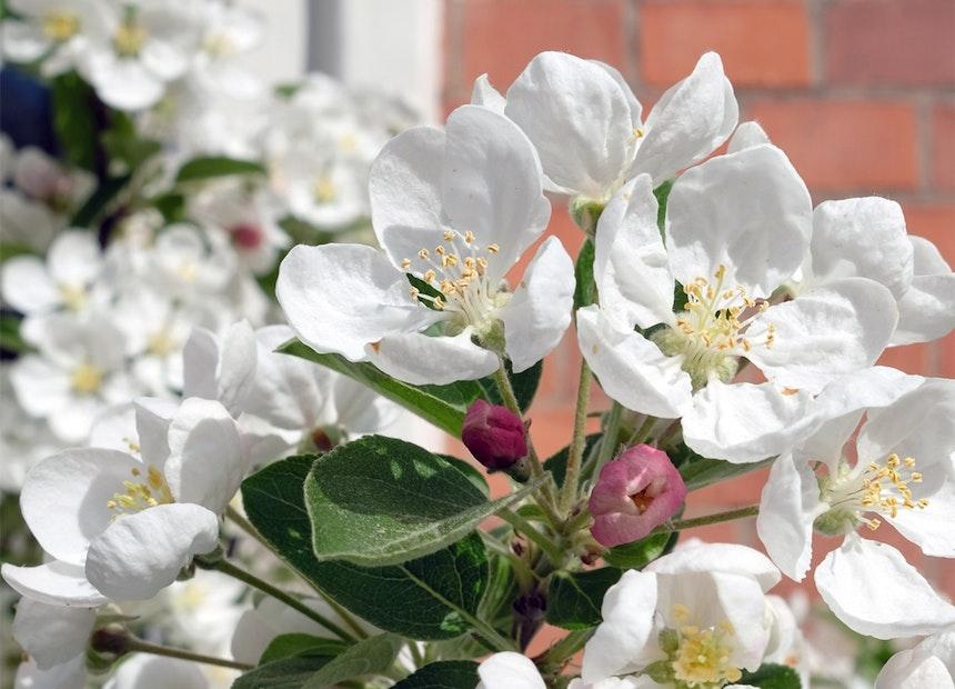 Lösen Frühlingsgefühle aus – Knospen & Blüten des Zierapfels »Golden Hornet«